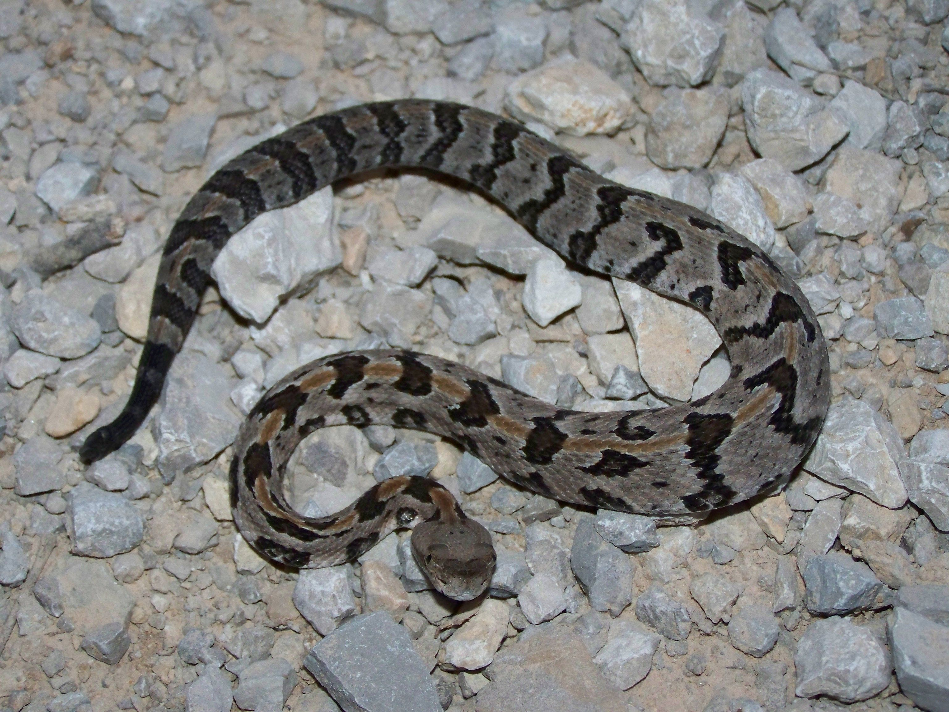 6 Fact About Rattlesnake And Their Babies Rattlesnake Poisonous Snakes Facts