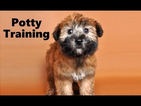 How To Potty Train A Soft Coated Wheaten Terrier Puppy Irish