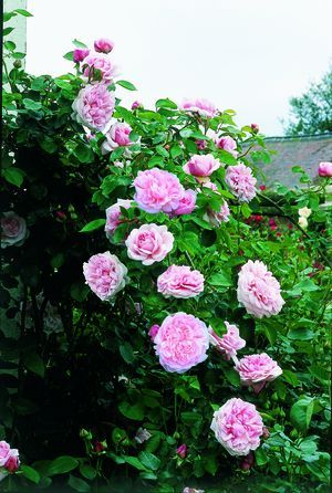 St Swithun Cl Rosa English Rose From