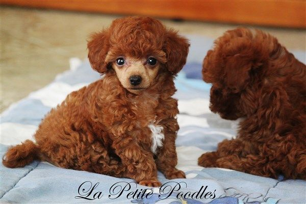 Teacup Tiny Toy Toy Poodles Sold In Texas Toy Poodle Poodle