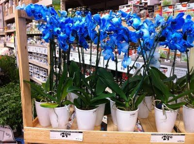 Potted Blue Orchids For Sale Smiling Sally Blue Monday Blue Orchids Order Flowers Online Blue Orchids Flowers Online