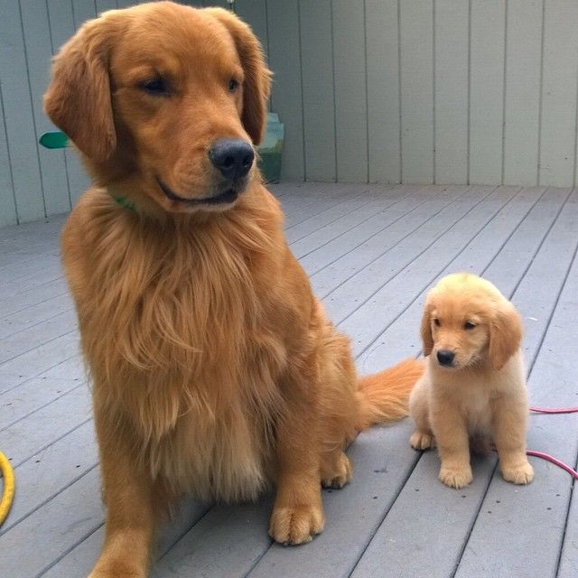 Here Is A Photo Of Goose The Golden Retriever Puppy And His Grandpa Willis Goose Hopes To Grow Up Big And Beautiful Retriever Puppy Cute Dogs Cute Animals