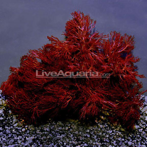 Red Gracilaria Feeding Algae: Aquacultured Saltwater ...