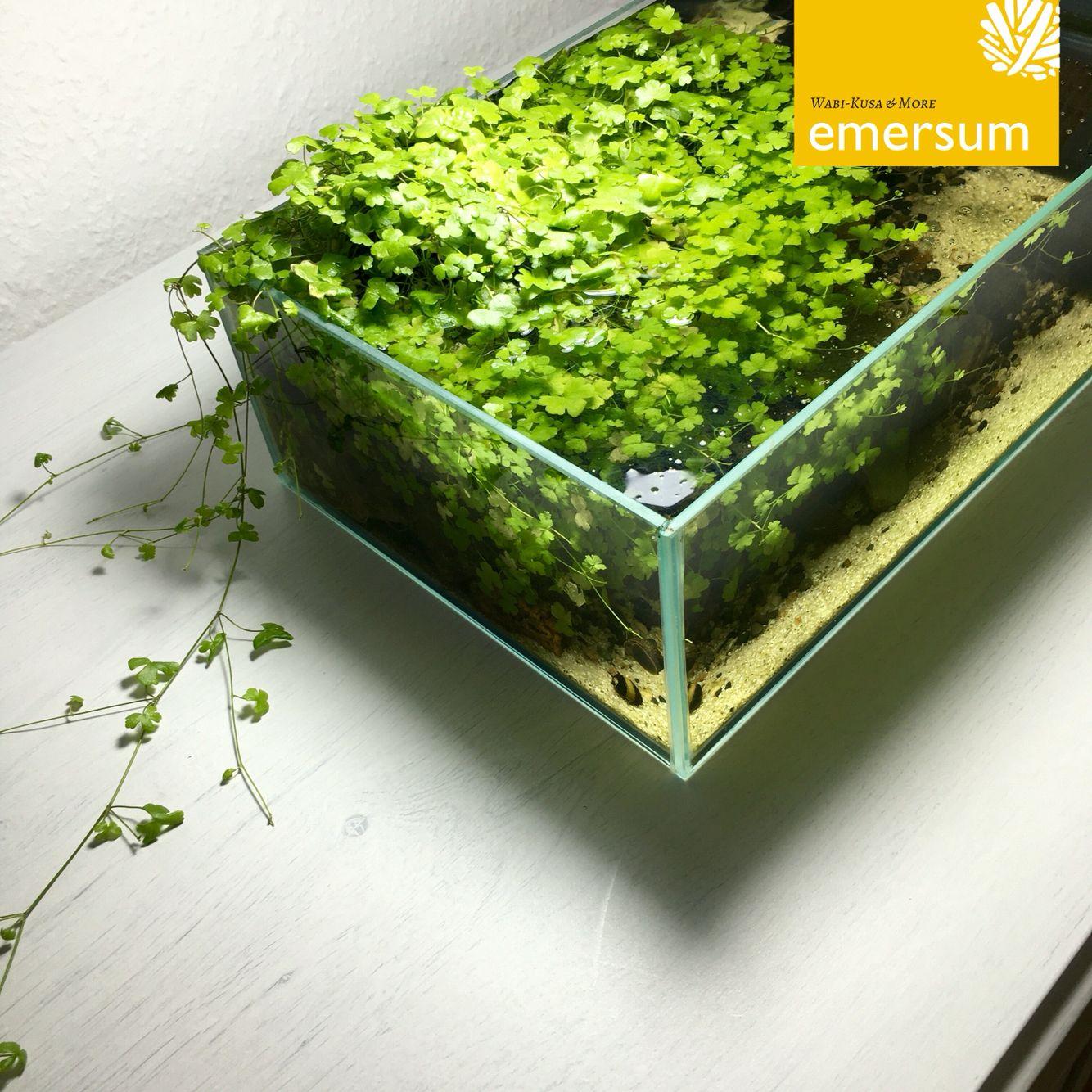 Emersum De Wabi Kusa Aquascaping Bể Ca Y Tưởng Thiết Kế