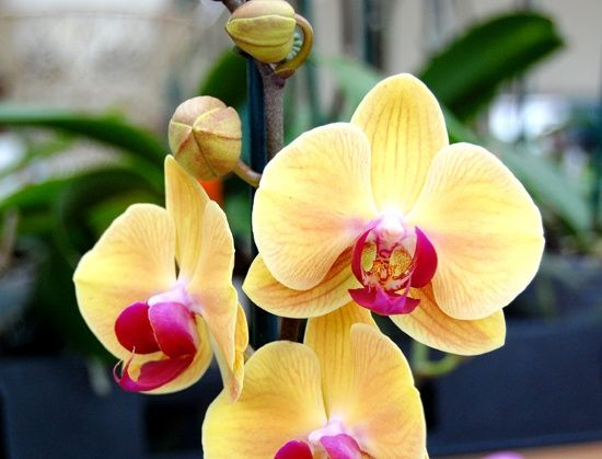 The Phalaenopsis Orchid Container Flowers Beautiful Flowers Garden Plants Design