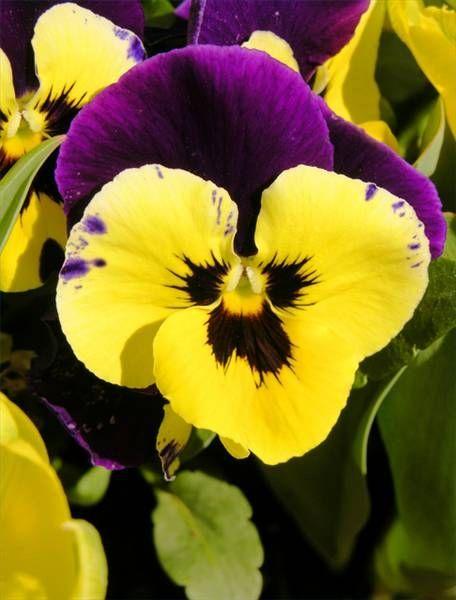 Purple And Yellow Pansy Autoimmunehepatitis Awareness Pansies Flowers Pansies Beautiful Bouquet Of Flowers