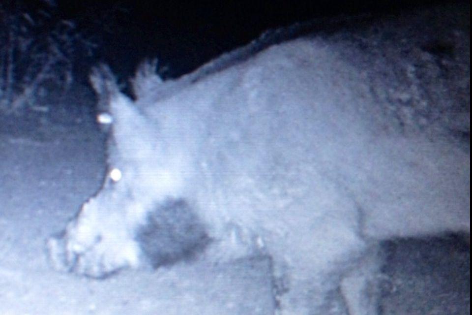 Hog Hunting West Texas Hog hunting, Hunting
