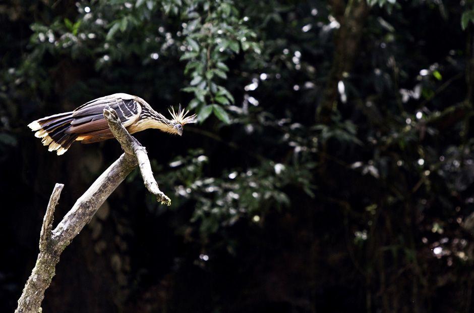 """Hoatzin hoazin"""") Bird pictures, Birds"""