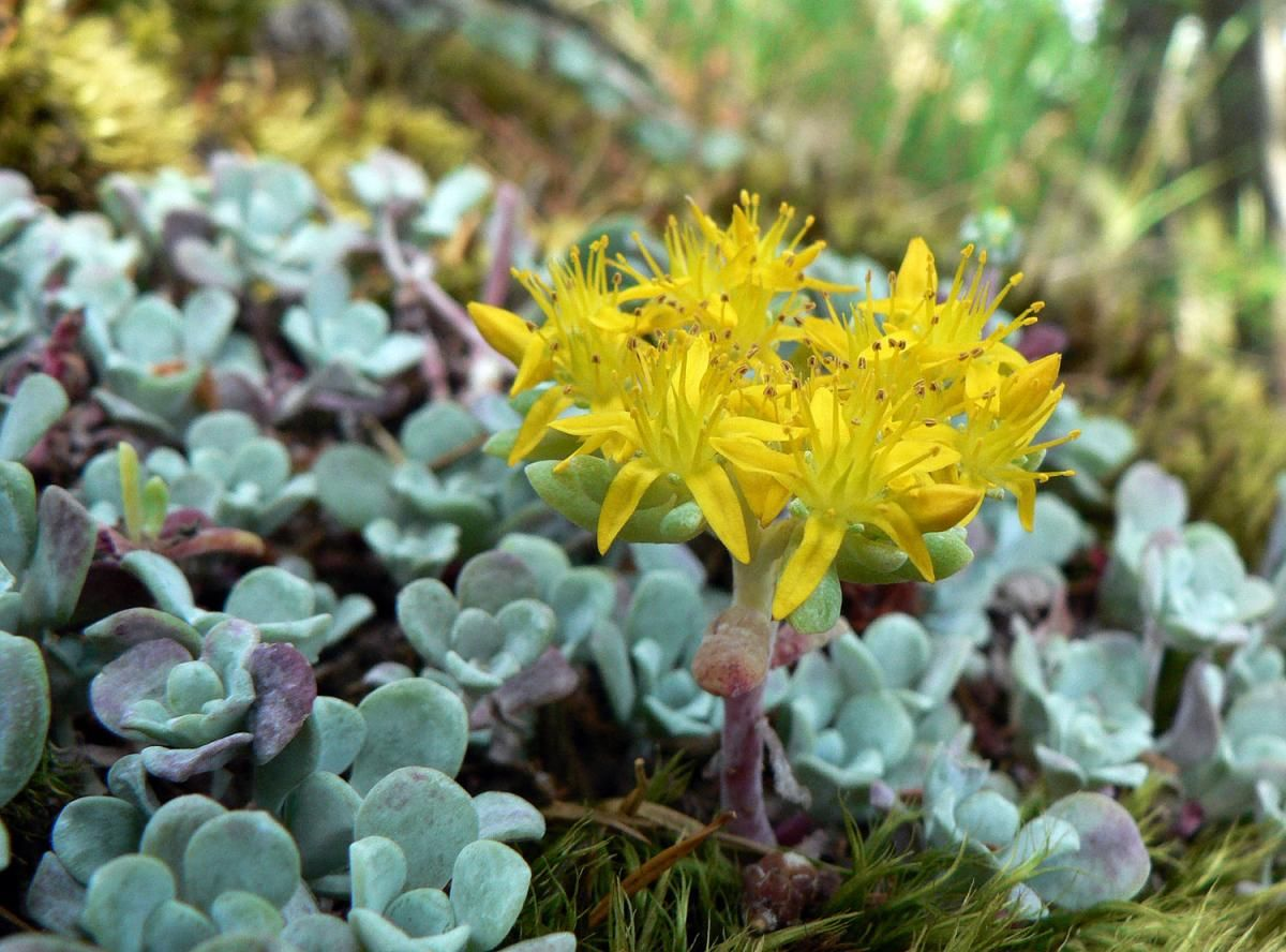Sedum Spathulifolium Broadleaf Stonecrop A Standout Evergreen Succulent Groundcover That Is Hardy Nearly