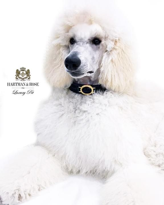 SAVE 30% on Your Next Order The World's Finest in Luxury Dog Products Use promo code: FALLISHERE This young lady is Duchess. Regal and elegant. She is wearing the Estate collar in Black Patent & Gold @duke_thepoodle @hartmanandrose #hartmanandrose Hartman & Rose is a globally trademarked brand. Exceptions Apply
