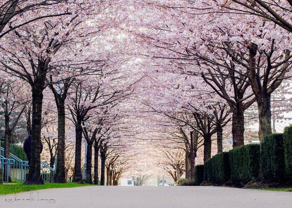Pin By Teresa On Nature And Landscapes Cherry Blossom Festival Canada Photography Cherry Blossom Season