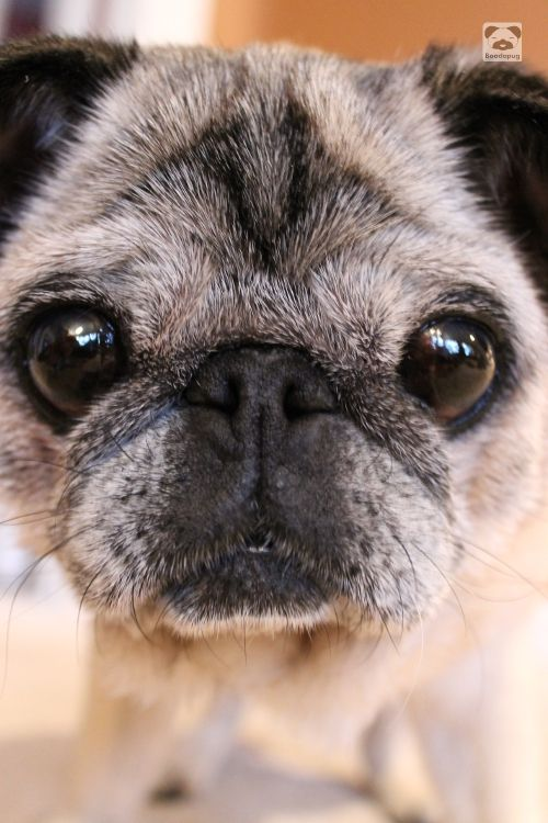 Sweet Little Grey Pug Baby Pugs Cute Pugs Dogs