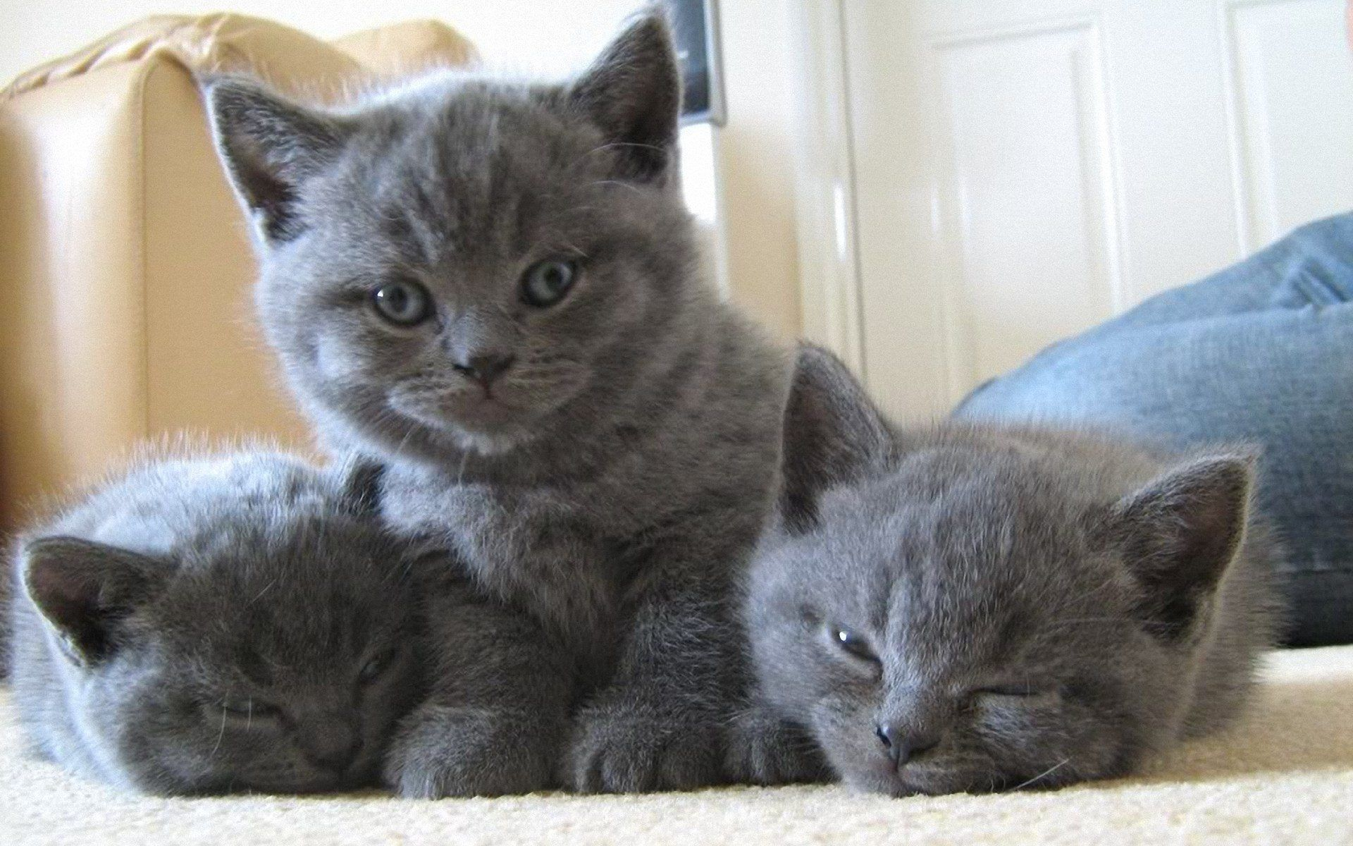 beautiful cat breeds Here the list of 14 most beautiful cat