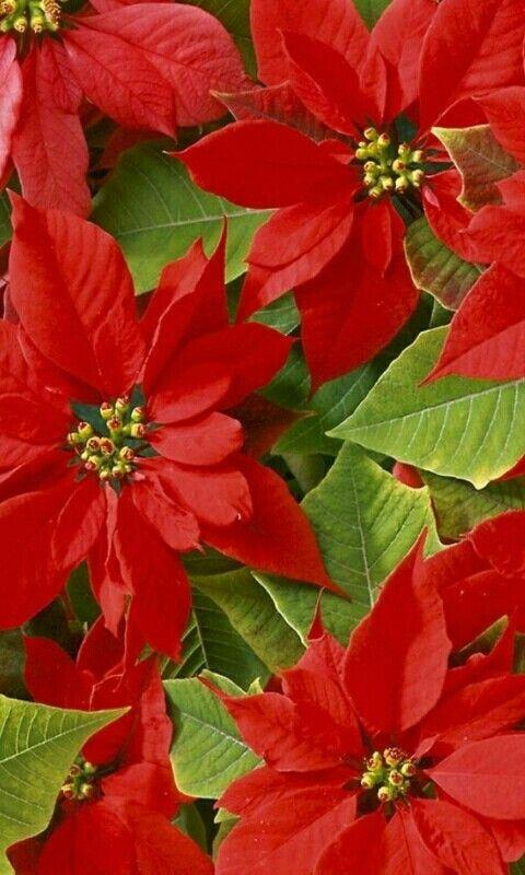 포인세티아에 있는 I J Kim님의 핀 크리스마스 꽃 예쁜 꽃 꽃 정원