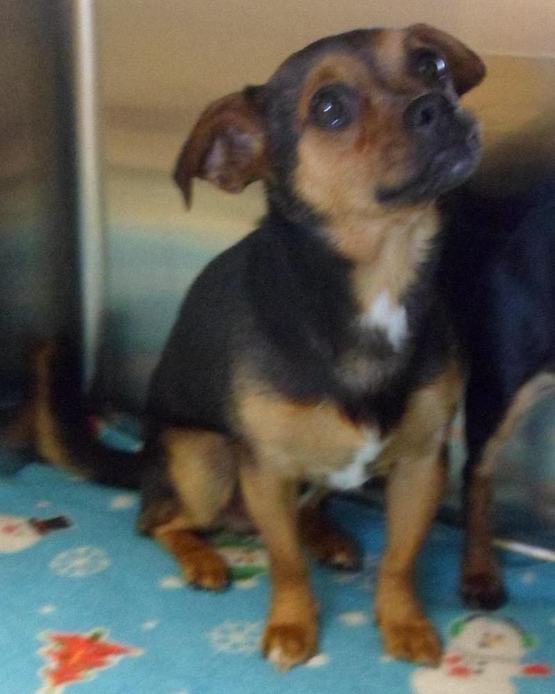 Adopt Bugatti On Pet Adoption Dogs Dachshund Mix