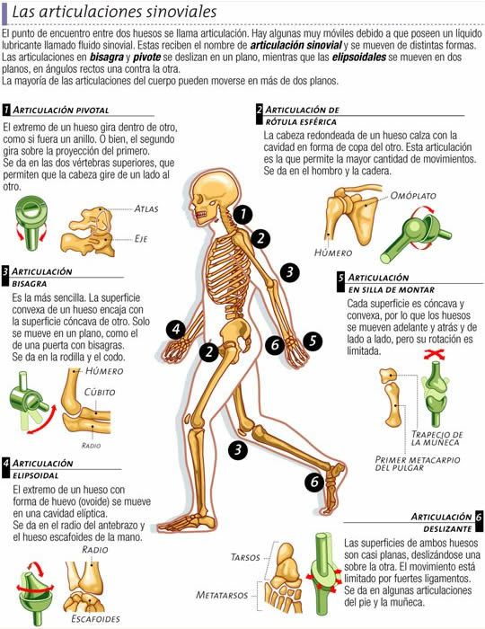 Articulaciones Sinoviales (DIARTROSIS) | Health and fitness ...