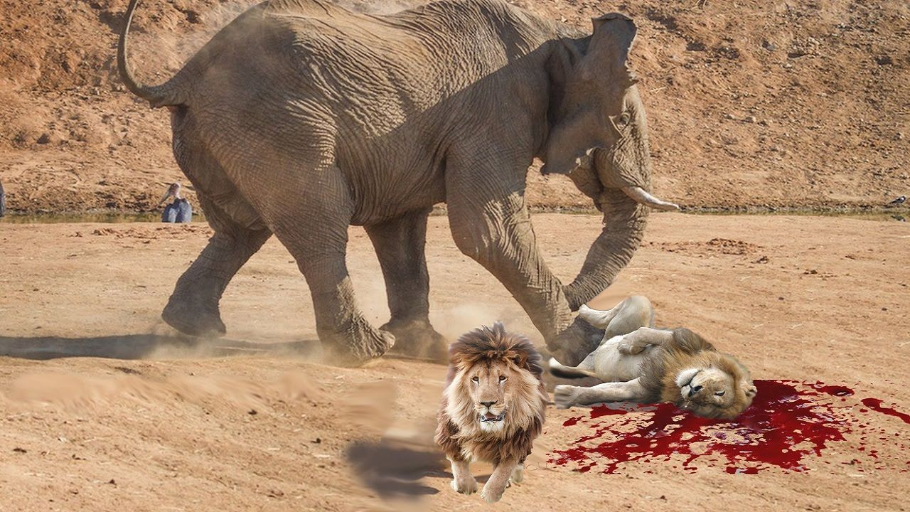 Lion vs Elephant Real Fight To Death | National Geographic ... Lion Vs Elephant
