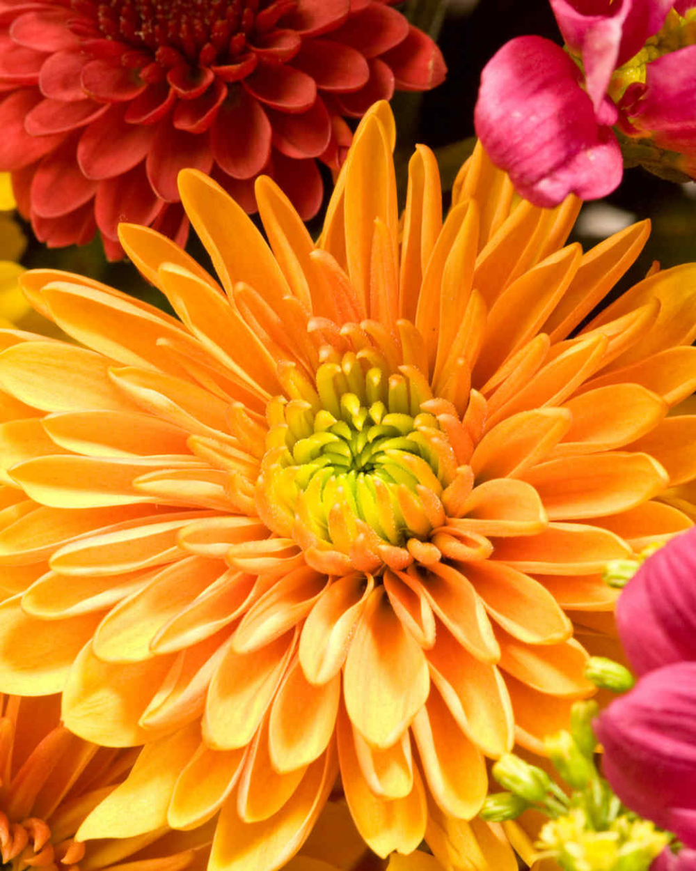 Your Ultimate Guide To Flowering Perennials Which Popular Plants Bloom When Chrysanthemum Flower Yellow Chrysanthemum Flowers Perennials