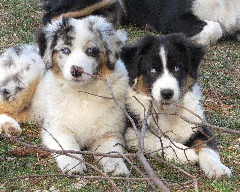 Everything We Adore About The Work Oriented Australian Shepherd Puppy Australianshepherdoftheday Australianshepherd Of Aussie Dogs Australian Shepherd Australian Shepherd Puppies