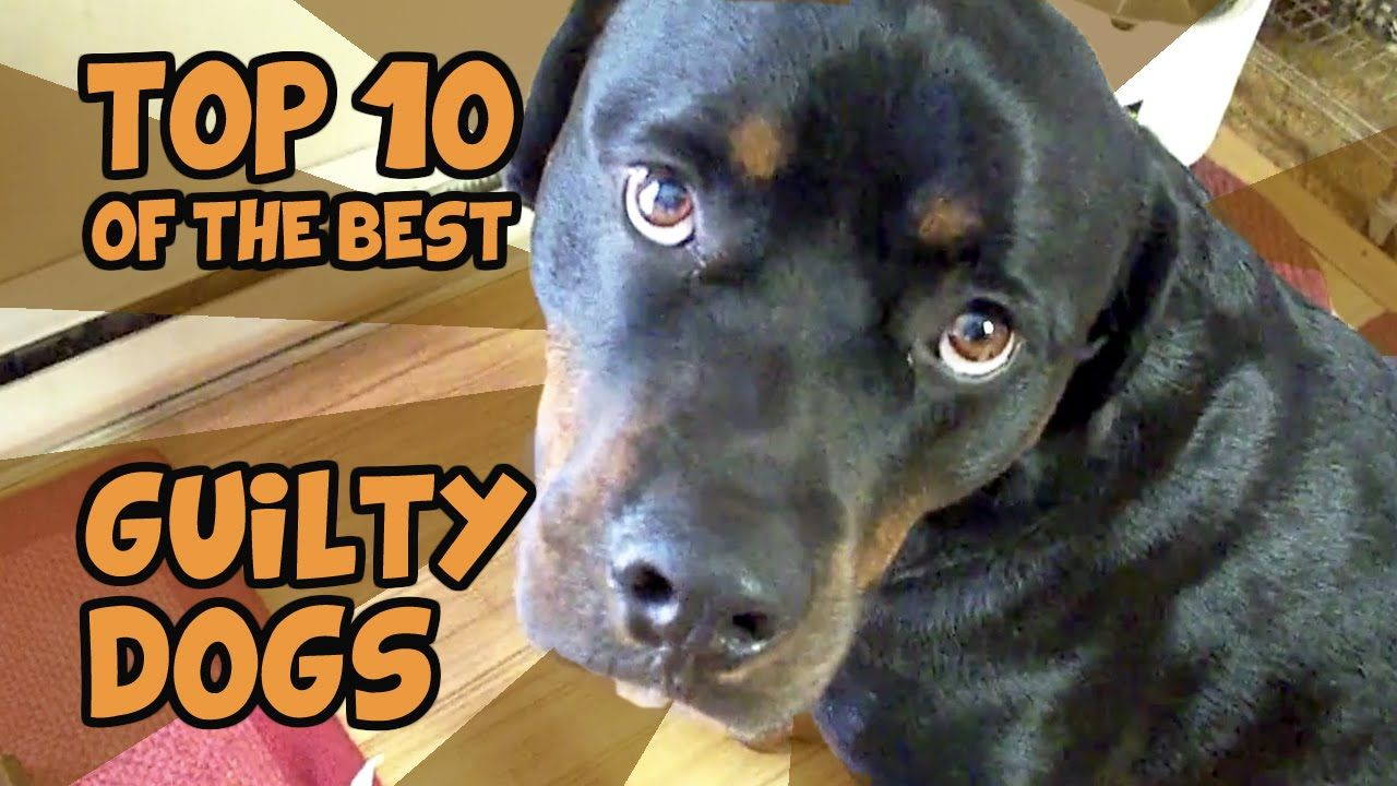THE TOP 10 GUILTIEST GUILTY DOGS OF ALL TIME Guilty dog