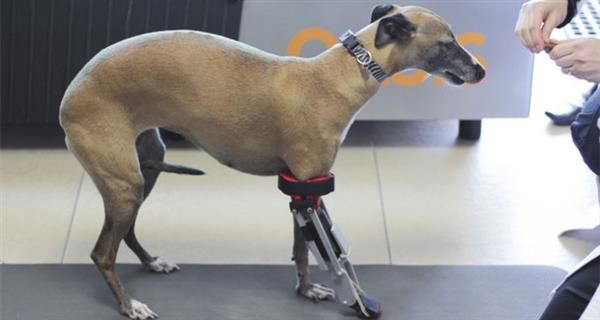 Dersorg Romina Becomes First Dog In Mexico To Receive A D - Designer creates see through 3d printed prosthetics made from titanium