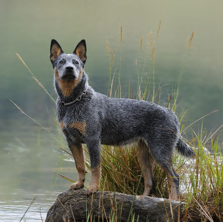 40 Best Medium Sized Dogs In 2020 Cattle Dog Puppy Australian Cattle Dog Puppy Dog Breeds Medium