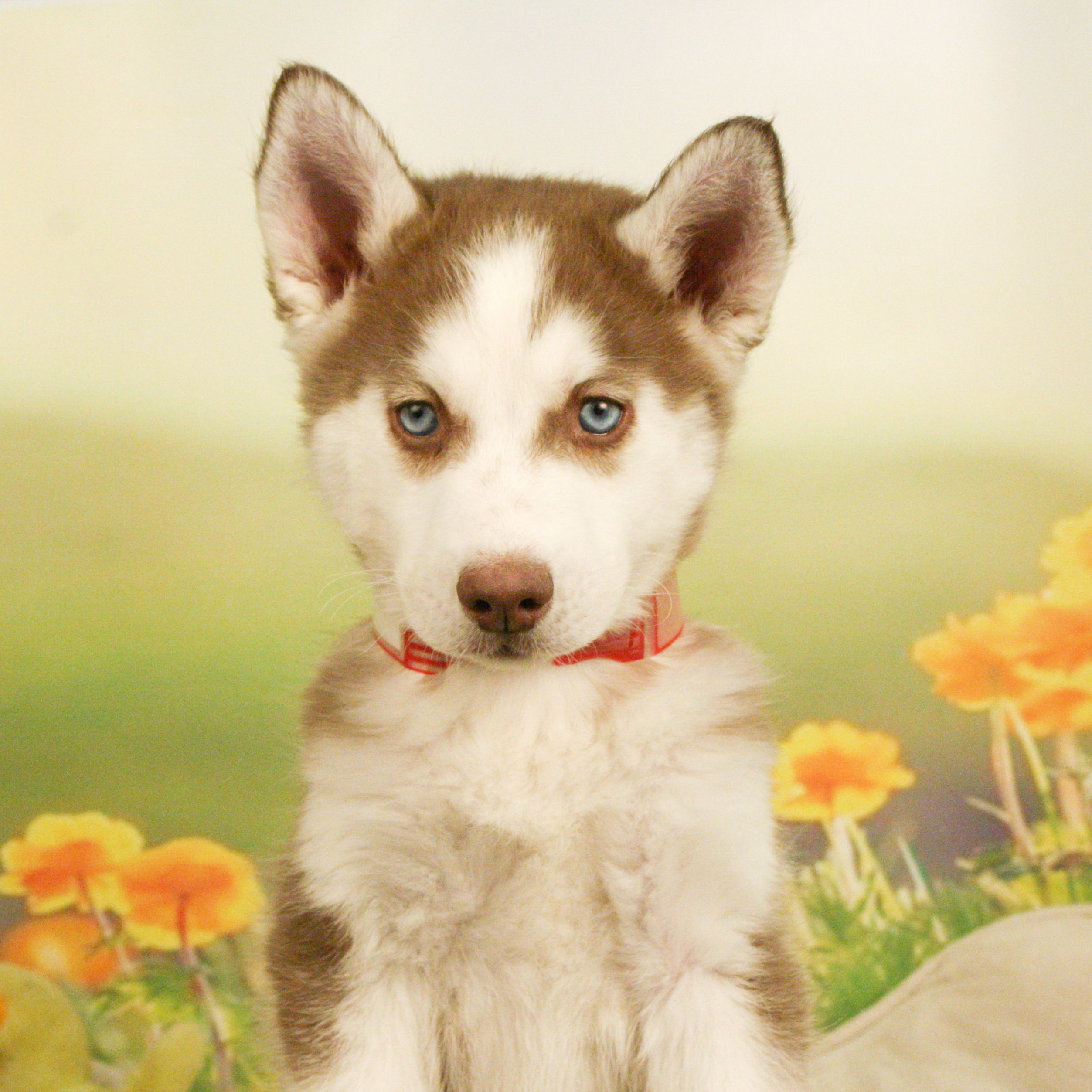 Is There A More Striking Breed Than The Siberian Husky The