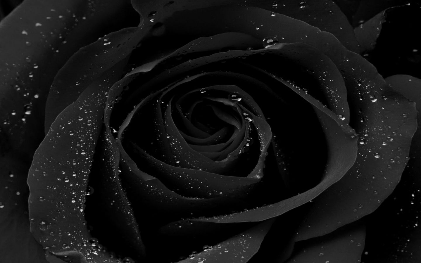 Black Rose HD Wallpapers HD Wallpapers