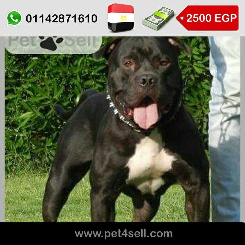 مصر الأسكندرية جرو بيتبول بولي ابن ديمون Pet4sell Dogs Animals Pitbulls