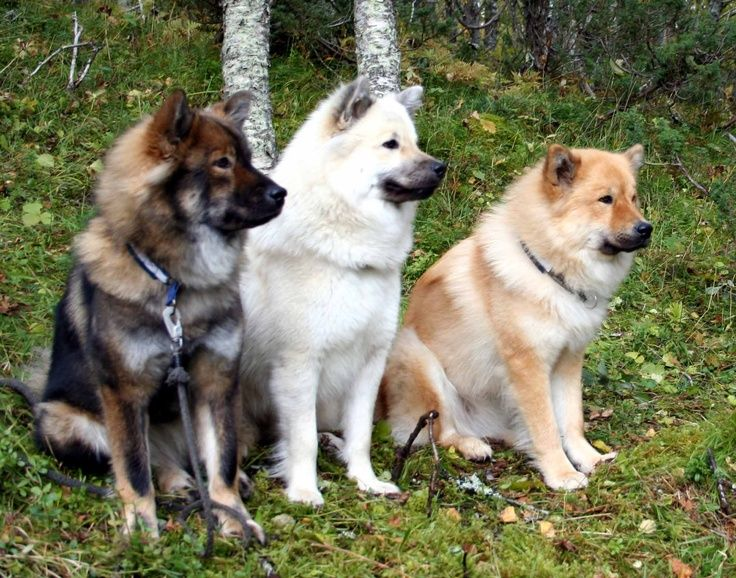 norwegian elkhounds in three different colors very pretty