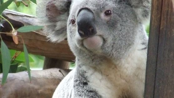 Stop Killing and injuring Koalas in blue gum plantations. http://www.change.org/petitions/stop-killing-and-injuring-koalas-in-blue-gum-plantations @sea Shepherd Conservation Society #defendconserveprotect