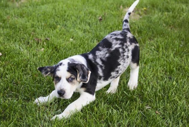 Adopt Steve On Leopard Dog Swiss Mountain Dogs Dogs