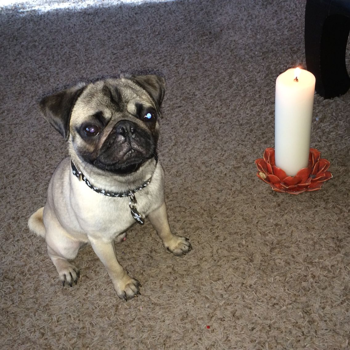 A Candle Is Lit In Az For Fonzie Rest In Peace Our Thoughts And Prayers Are With You And Your Family Pug Love Pugs Pug Lover