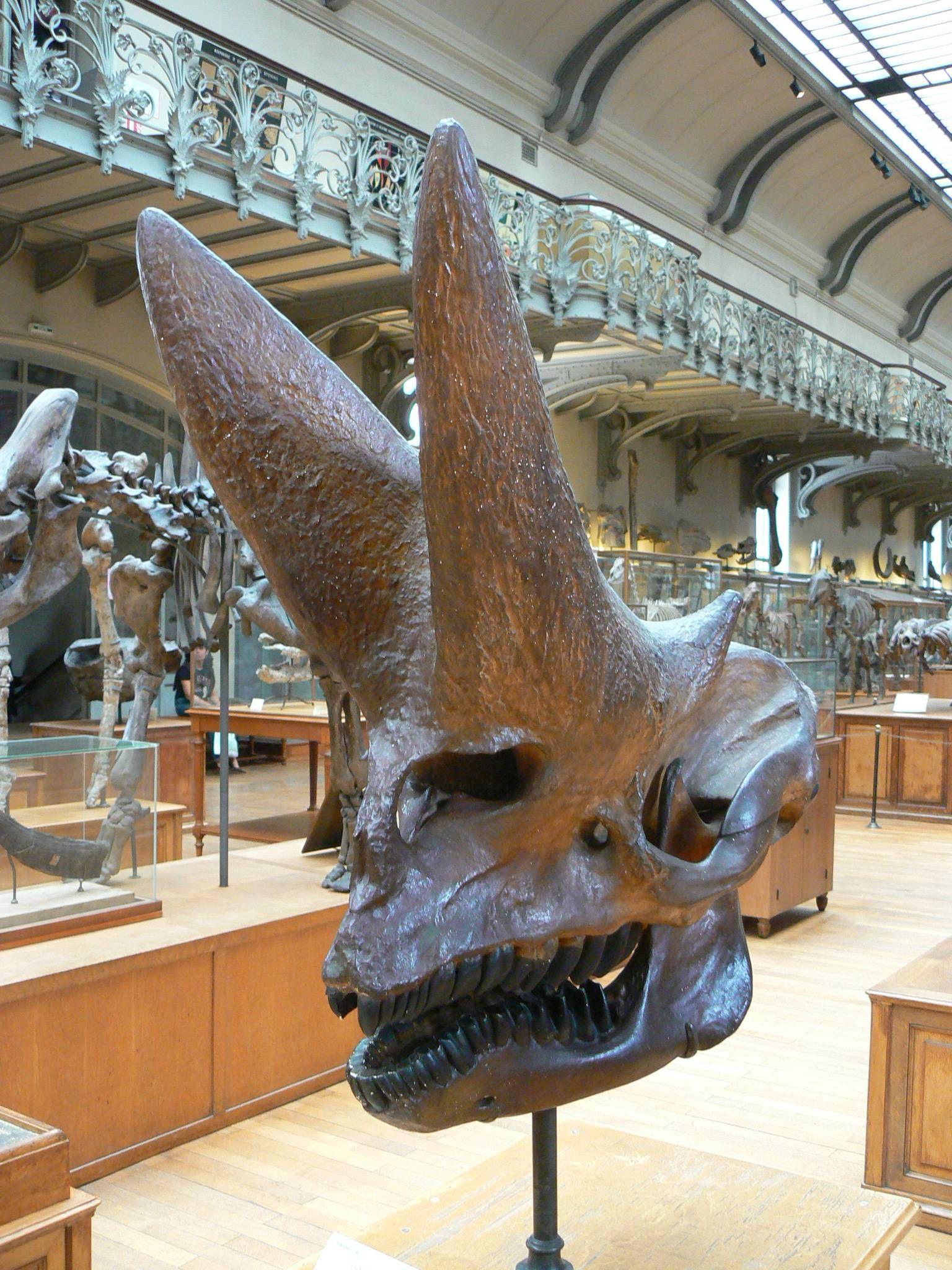 The skull of Arsinoitherium zitteli