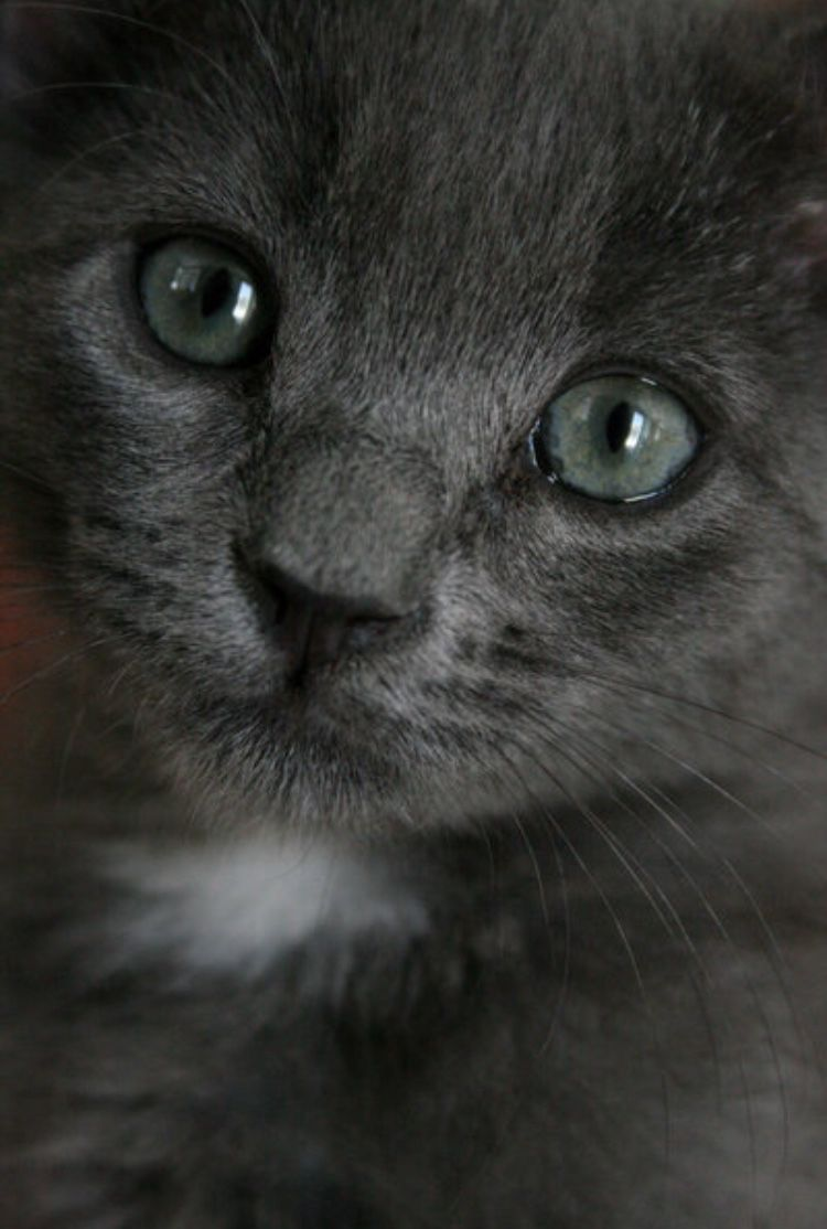 Tabby Cats Grey What would happen if a hybrid arrived in