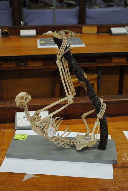 Sloth | Pinterest | Taxidermia, Anatomía y Oso perezoso