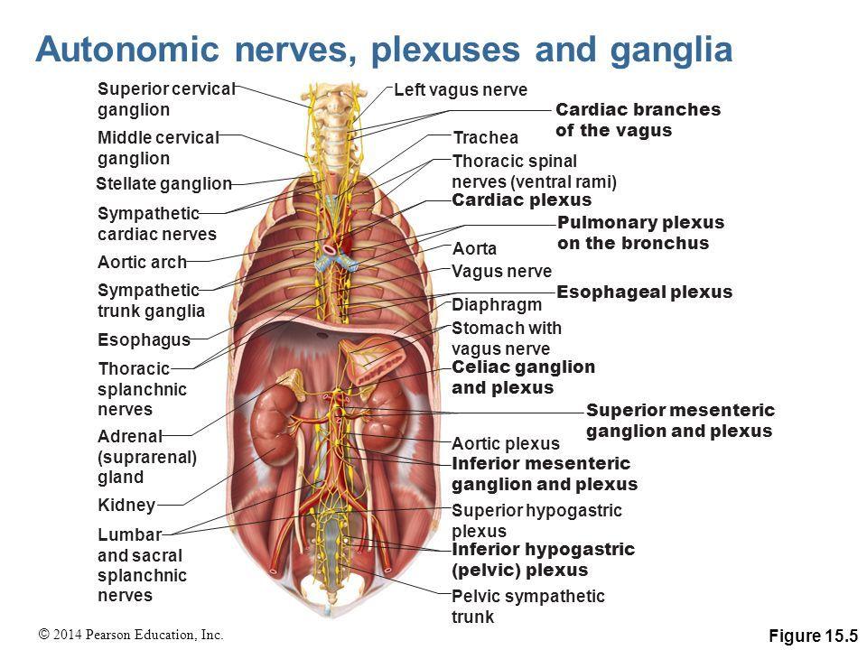 Image result for sympathetic ganglion part of cardiac plexus ...