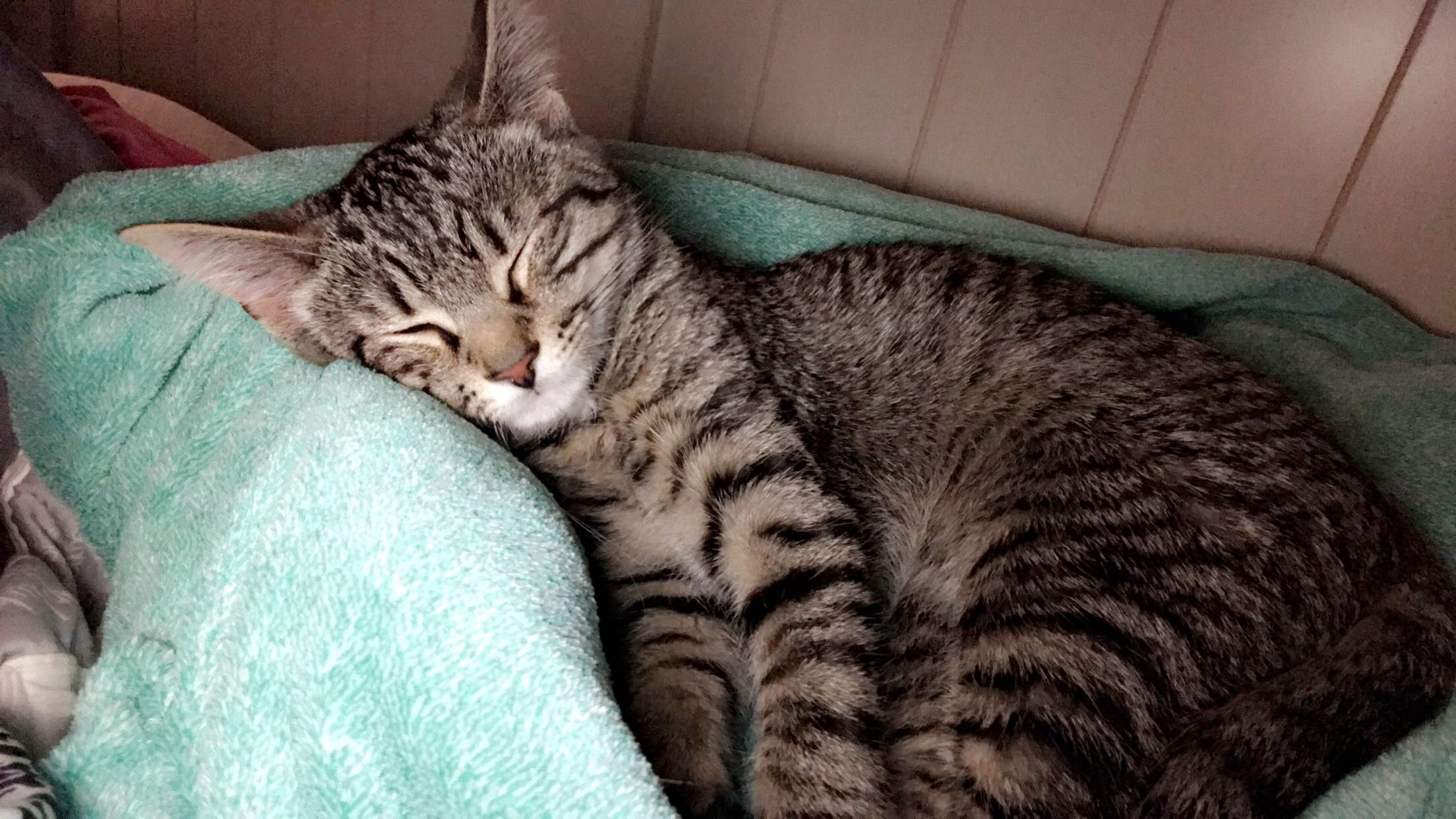 Valentino Domestic Cat Breed Cat Pages Domestic Cat Breeds American Bobtail Cat Domestic Cat