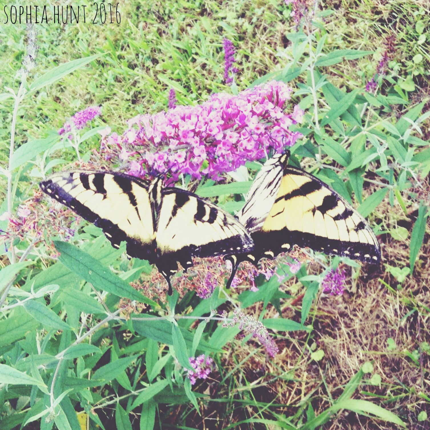 butterfly nature summer photography  Sophia hunt 2016