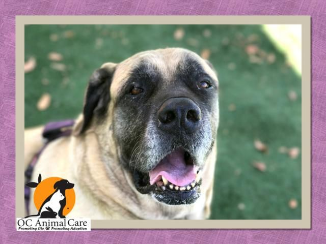 Mastiff Dog For Adoption In Orange Ca Adn 779025 On Puppyfinder