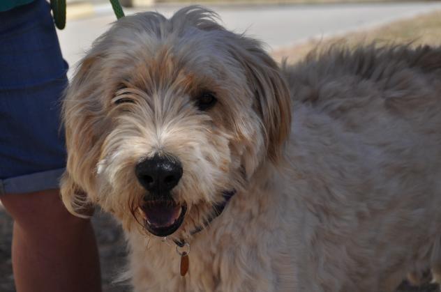 Adopt Clark Kent Adoption Pending On Poodle Mix Dogs Poodle