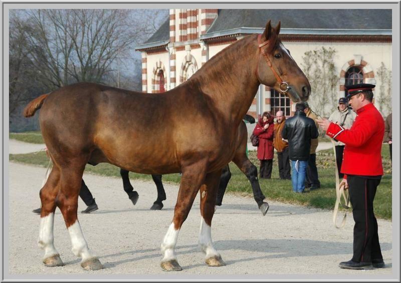 Norman Cob | Norman Cob | Clydesdale horses, Draft horse