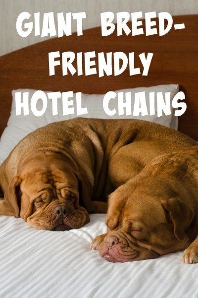 Traveling With Giant Breed Dogs Can Be Difficult But It Doesn T Have To Here Are Our Top Picks For Hotel Chains That Allow Of Any Size Stay
