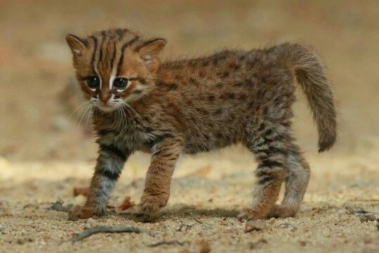 Rusty Spotted Cat From Sri Lanka Rusty Spotted Cat Wild Cat Species Wild Cats