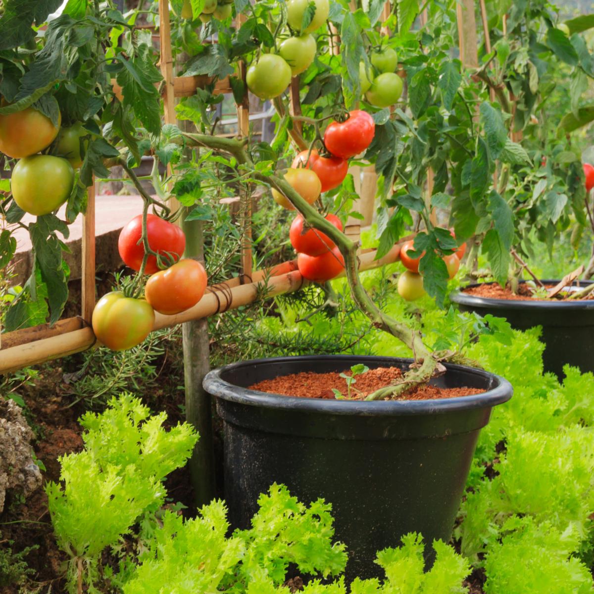 Grow Up With A Vertical Garden Trellis Vertical Vegetable