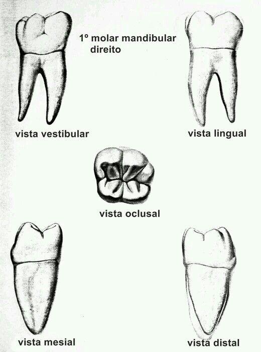 Aristas | Anatomía | Pinterest | Odontología, Anatomía y Dentistas