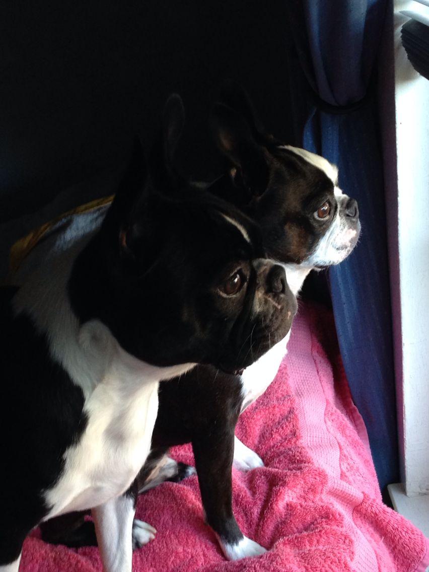 Cooper Spyro Looking The Window Bt Boston Terrier Love