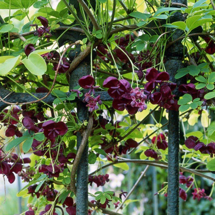 grimpant - Akébie à cinq feuilles - résiste à -10°  - parfum vanille