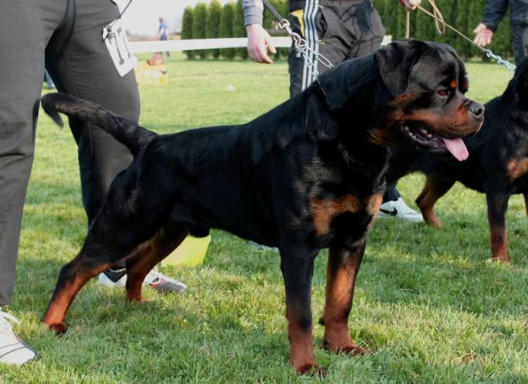 Find Rottweiler Breed Info Breeders Clubs Rescues Care