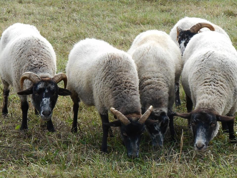 our new hog island sheep at the hetchler pioneer farm at the genesee